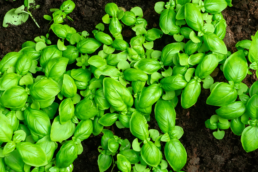 Sweet Basil: Beneficial for Health, Home, and Garden